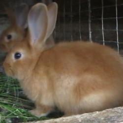Новый кролиководческий комплекс